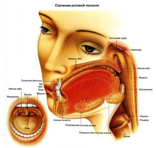 Киста слюнной железы - симптомы, лечение, удаление процесс заболевания затрагивает чаще протоки